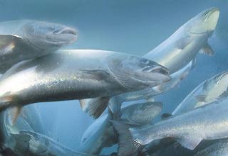 Le Canada, premier Etat à autoriser sur son territoire la vente de saumon transgénique. Et sans étiquetage !