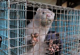 Le Parlement estonien vise l'interdiction des fermes à fourrure