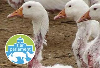 Pour une interdiction de l'importation de duvet provenant d'animaux plumés vivants